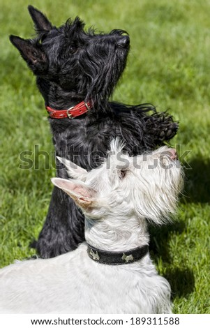 Black and a Wheaton Scottish Terrier dog begging outdoors in green grass - stock photo