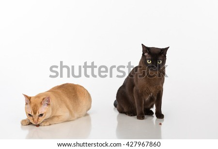 Black and Bright Brown Burmese cats Couple. Isolated on white background. Eating Food.  - stock photo