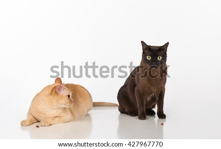 Black and Bright Brown Burmese cats Couple. Isolated on white background. Food on the Ground - stock photo