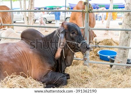 Black and brown brahman sit in cage,korat,thailand - stock photo