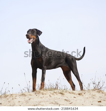 black and brown doberman standing in the sand under blue sky - stock photo
