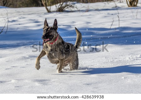 Black and brown dog running on fresh snow with a funny face