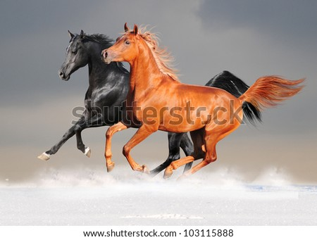 black and chestnut arab horses in the snow - stock photo