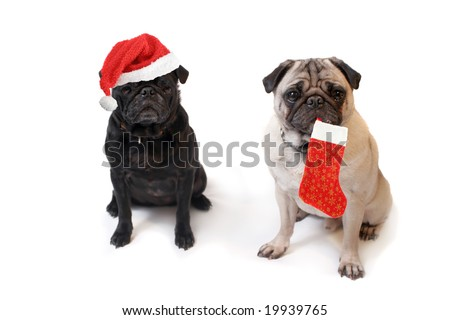 Black and Fawn colored Pugs one with christmas santa claus hat and the other with decorative stocking   on a white background - stock photo