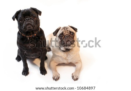 Black and Fawn colored Pugs posing for the camera on a white background focus on black dog's face - stock photo