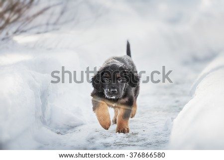 Black and golden hovawart puppy on the snow