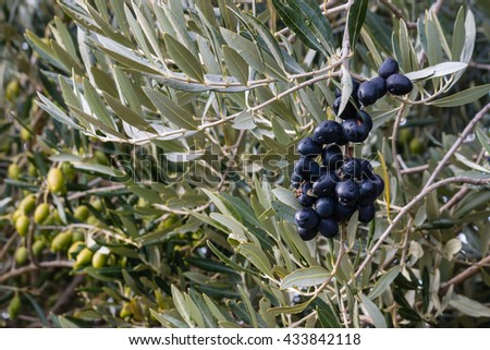black and green olives ripening on olive tree - stock photo