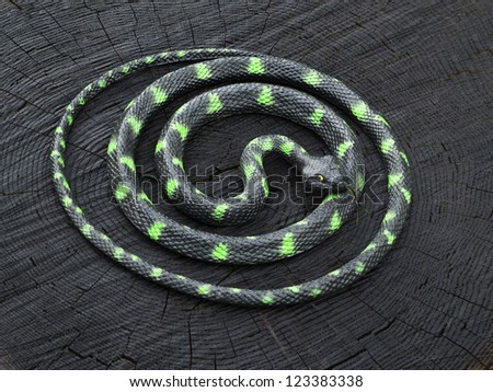 black and green snake curled up on the black stump