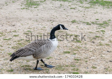 black and grey goose walking in a park