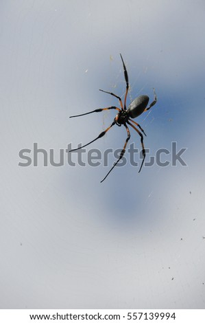 Black and Orange Nephila Inaurata Spider on her net in Reunion Island