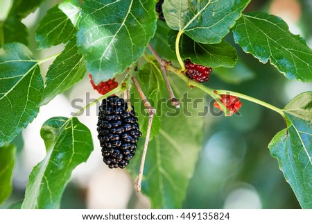 black and red berries on mulberry tree (blackberry, Morus nigra) close up - stock photo