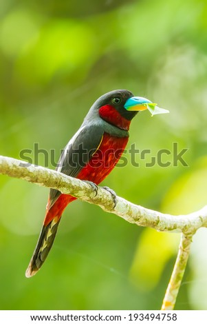 Black-and-red Broadbill(Cybirhynchus macrohynchus) with leaf in her mount