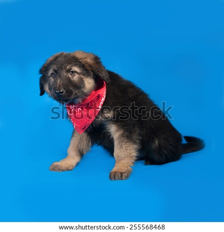 Black and red shaggy puppy in red bandanna sitting on blue background