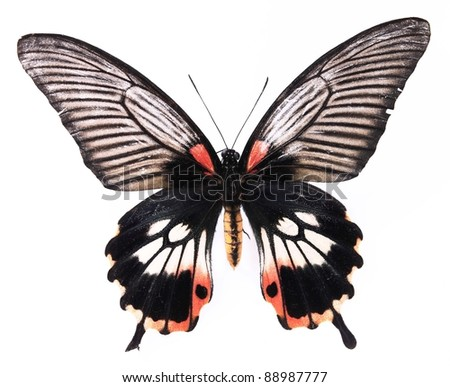 Black and red stripes butterflies isolated on white background - stock photo