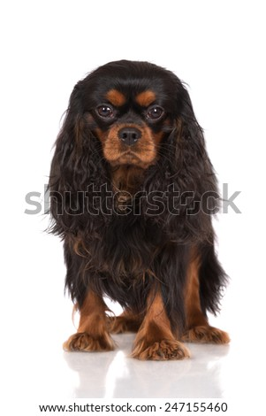 black and tan cavalier king charles spaniel dog standing on white - stock photo