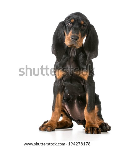 black and tan coonhound sitting on white background