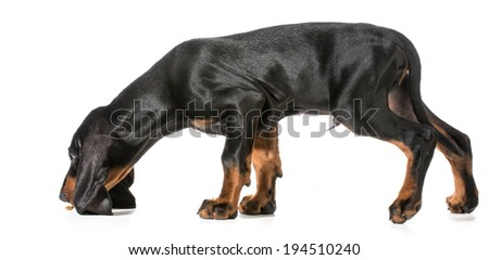 black and tan coonhound smelling for dog treat on the ground - stock photo