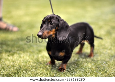 Black and tan dachshund dog on exhibition on a leash