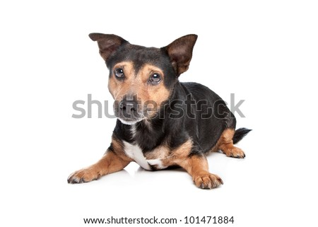 Black and Tan Jack Russel Terrier in front of white background