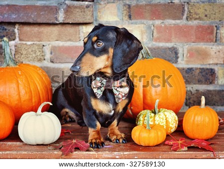 Black and tan miniature Dachshund and pumpkins, purebred dog wearing bow tie, selective focus, toned image - stock photo
