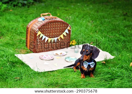Black and tan miniature dachshund, dog wearing bow tie, summer picnic on green grass outdoors, birthday party. - stock photo