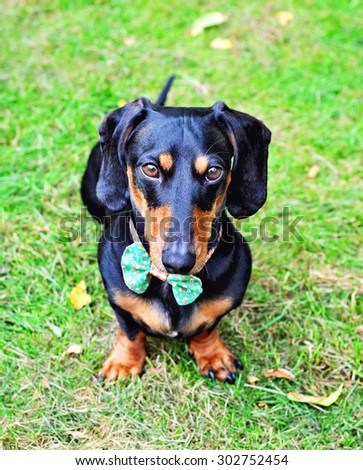 Black and tan miniature Dachshund, purebred dog wearing bow tie, outdoors, selective focus, toned image - stock photo