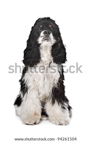 black and white American Cocker Spaniel in front of a white background - stock photo