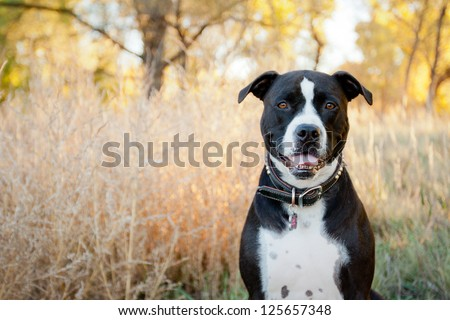 Black and white American Pit Bull Terrier siting and smiling in park - stock photo