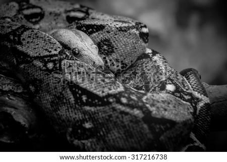 Black and White Boa Constrictor - stock photo