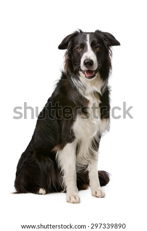 Black and White Border Collie dog in front of a white background - stock photo