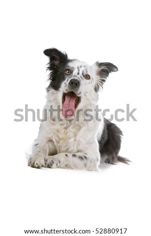 black and white border collie dog (sheepdog) isolated on a white background