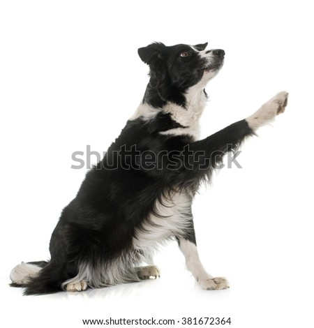 black and white border collie in front of white background