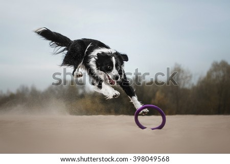 black and white border collie jumping over a puller on the sand