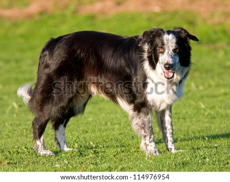 Black and white border collie standing still outside in the park looking alert. - stock photo