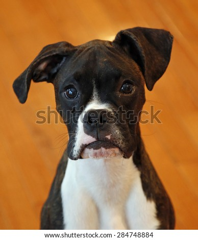 Black and white boxer puppy head shot