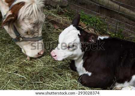 Black and white calf lying in the hay. Cow mother eating hay.