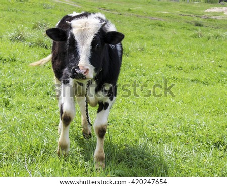 black and white calf standing in a field on a bright green grass