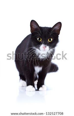 Black-and-white cat. Cat on a white background. Black cat. House predator. Small predatory animal. - stock photo