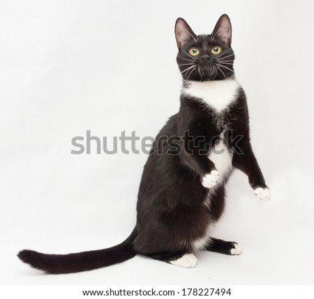 Black and white cat is standing on its hind legs on gray-white background - stock photo