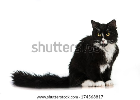 Black and white cat sitting isolated on white background