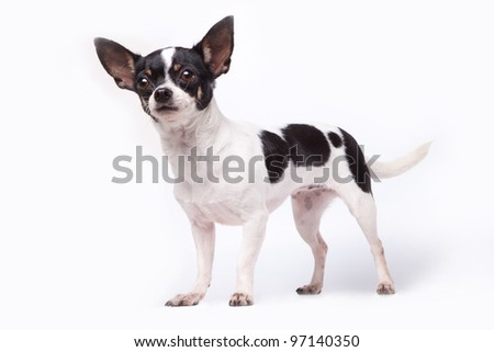 Black and white chihuahua - stock photo