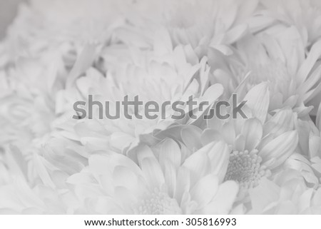 black and white, close up Mums flower, blur and soft focus, resend noise