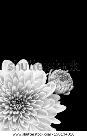 Black and white close up of chrysanthemum flower and bud, isolated on black. - stock photo