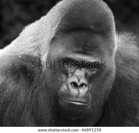 Black and White close up of male silver-back gorilla - stock photo