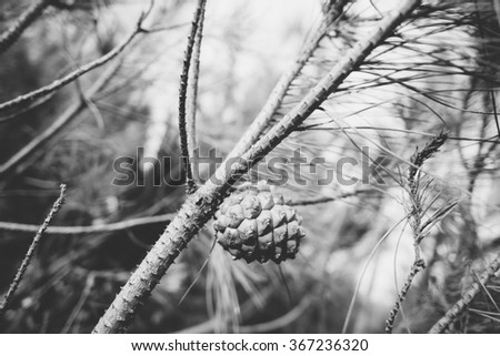 Black and white close up on a pine cone on a branch of a pine grove on a conifer in Sardinia - stock photo