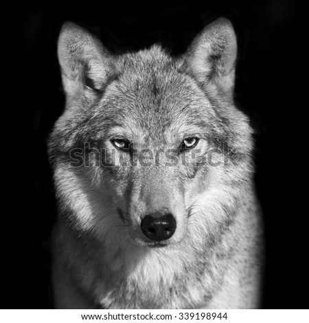 Black and white close up portrait of grey wolf female. Square image. Beautiful and dangerous beast of the forest. - stock photo