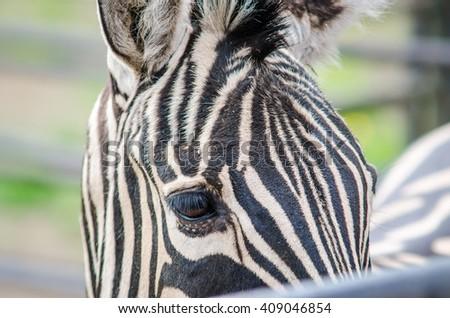 Black and white close up zebra head - stock photo