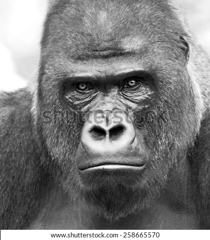 Black and white closeup portrait of a gorilla male, severe silverback on gray background. Stony stare of the great ape, the most dangerous and biggest monkey of the world. Chief of a gorilla family.  - stock photo
