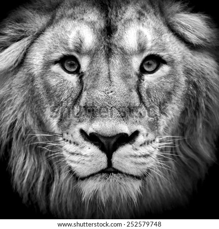 Black and white closeup portrait of an Asian lion. King of beasts. Wild beauty of the biggest cat. The most dangerous and mighty predator of the world.  - stock photo
