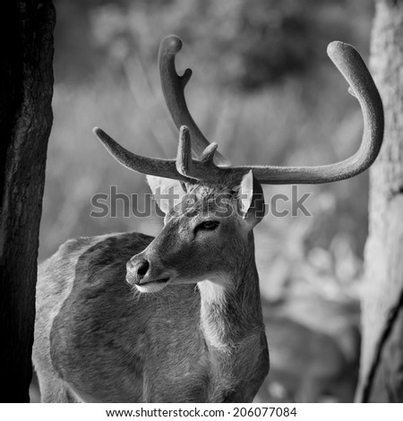 Black and white color beautiful image of red deer stag in forest - stock photo